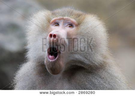 Funny Looking Baboon