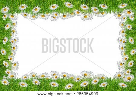 Chamomile flower on white background with copy space.Spring background concept