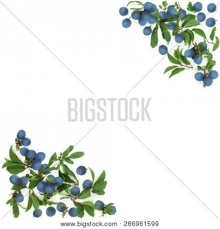 Blackthorn berry abstract border on white background with copy space. Also known as sloe berry