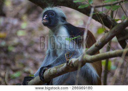 Monkey Red Colobus Close-up  In A Natural Environment. Jozani Chwaka Bay National Park. Zanzibar. Af