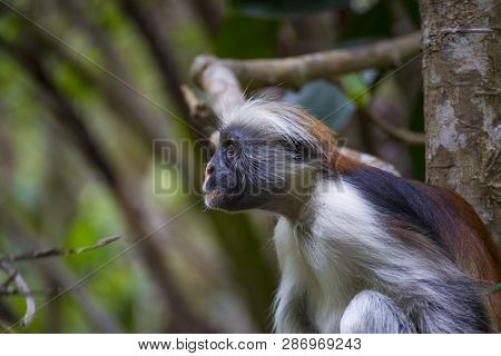 Monkey Red Colobus Close-up In Trees  In A Natural Environment. Jozani Chwaka Bay National Park. Zan