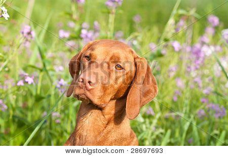 Closeup Portrait Of A Vizsla Dog With Wildflowers