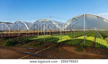 Fresh Organic Lettuce Seedlings In Greenhouse Outdoors
