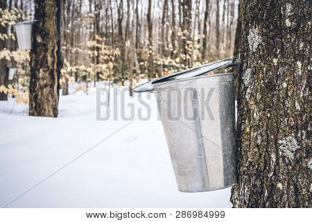Maple Syrup Season. Maple Sap Dripping Into A Metal Pail Attached To A Tree. Copy Space.