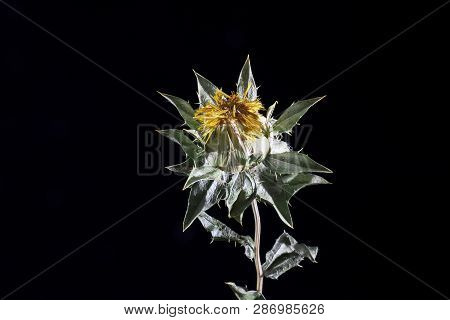 Dried Yellow Safflower. Yellow Thistle Isolated On On Black