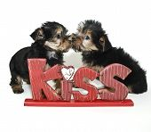 Two Yorkie puppies kissing behind a kiss sign poster