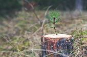 new life strenght and development concept - young pine sprout growing from tree stump poster