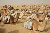 A camel caravan hauling salt through the Sahara Desert to Timbuktu rests after walking all day. poster