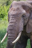 large elephant with tusks walking in sun with drid mud on head poster