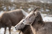 Female ewe bighorn sheep relaxing in the wild, in Radium Hot Springs British Columbia. Sheep looking to the left poster