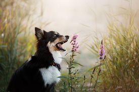 Dog Bites A Flower. Pet Border Collie In Nature