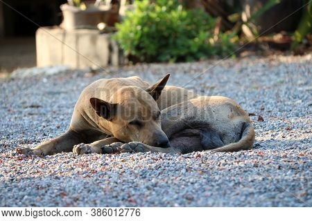 Light Brown Dog Laying Down On The Gravel Floor At The Sunlight Of Morning. It Is A Domesticated Car