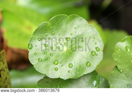 Water Drop On The Centella Plant Leaves Floating On Water , Green Pattern Of Asiatic Leaf Drift On T