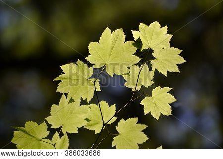 Sun Light Shinning Through Yellow Sycamore Leaves On Dark Background