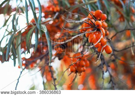 Sea Buckthorn Branch With Ripe Fruits In Autumn. Close-up. A Bunch Of Shiny Orange Berries And Green