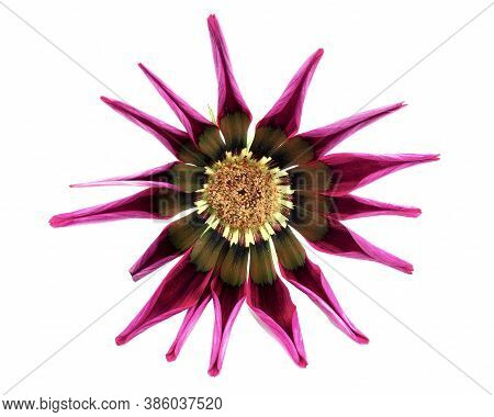 Gazania Flower With Wrapped Petals Isolated On A White Background With Shadow