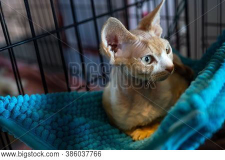 Egyptian Hairless Cat On A Blue Hanging Lounger. The Sphynx Cat Is A Breed Of Cat Known For Its Lack