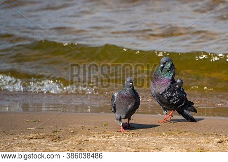 A Male Pigeon Is Passionately Caring For A Female Pigeon On The River Bank. Bird Passion. The Relati