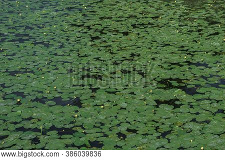 Background Of Water Vegetation Of Neutral Color, Pond Overgrown With Water Lilies, Monotonous Natura