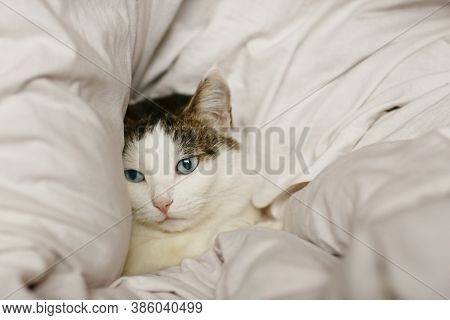 Close Up Photo Of Blue Eyed Cat Lay In Bed