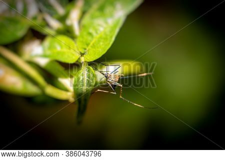 Macro Of Culex Quinquefasciatus Mosquito Or Southern House Mosquito Holding A Leaf