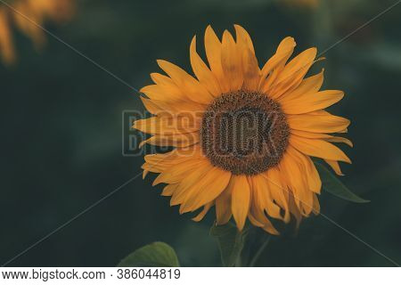 Beautiful Sunflower Among The Field With A Blurred Green Background. The Concept Of Summer And Sun.