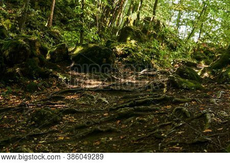 Tree Roots On A Trail In A Semi-dark Subtropical Forest