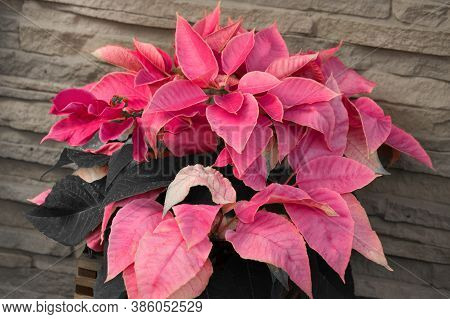 Beautiful Red Burgundy Poinsettia Plant Bush In Front Of A Gray Shale Brickwork