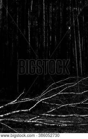Birch Fallen Down By Fierce Tempest In The Middle Of Young Forest, Black And White Image
