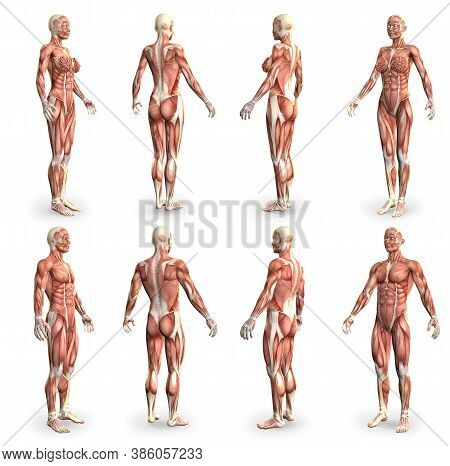 8 High Detailed Images In 1, Male And Female Bodies With Muscle Map - Physiology Concept For Medicin