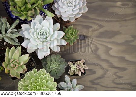 Closeup Of Assorted Succulent Plants On Wooden Table Ready For Planting In Garden. Copyspace.