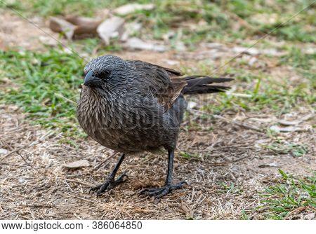 Very Curios Apostle Bird (lousy Jack) Scavenging Near Our Campsite Qld Australia.