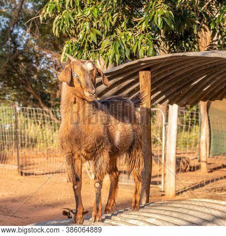 Miniature, Male Goat On A Hot Tin Roof In Qld Near Bundaberg.