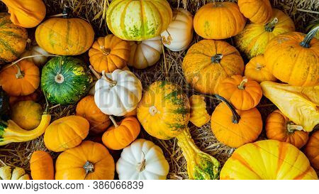 Fresh Pumpkin In Fall Harvest Season. Autumn Season With Organic Fruit And Vegetable For Halloween A