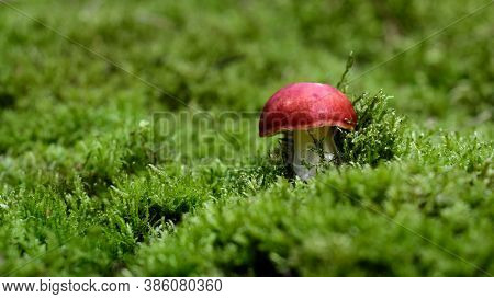 Toxic Mushroom Emetic Russula (russula Emetica) That Can Cause Vomiting And Noasia. Called Surojadka