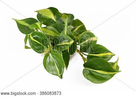 Tropical Houseplant With Yellow Stripes Called 'philodendron Hederaceum Scandens Brasil' Isolated On