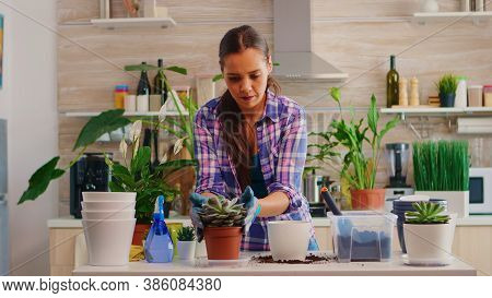 Woman Replanting Flowers In Bigger Flowerpot Sitting In The Kitchen. Gardener Planting Flowers In Wh