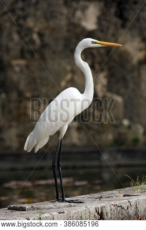 The Great Egret (ardea Alba), Also Known As The Common Egret, Large Egret Standing On The Edge Of A