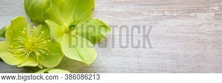 Banner With Yellow Green Helleborus Viridis Or Christmas Rose On A Light Browrn Wooden Background