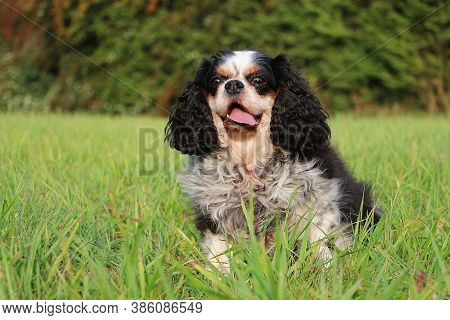 Small Tricolored Cavalier King Charles Spaniel Is Sitting In The Green Garden