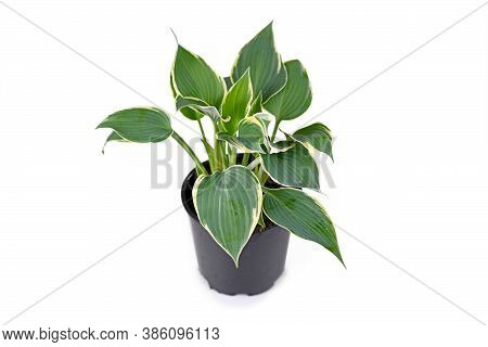 Plant Called 'hosta' With Green Leaves And With White Edges In Black Plastic Flower Pot Isolated On