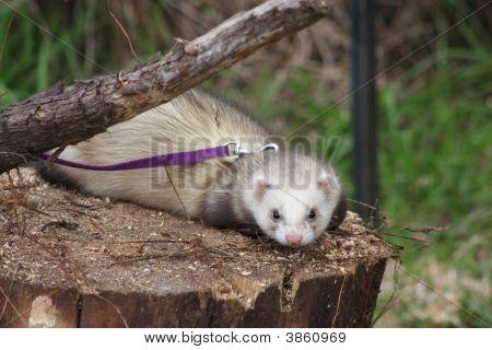 Pet Ferret Laying On Log.