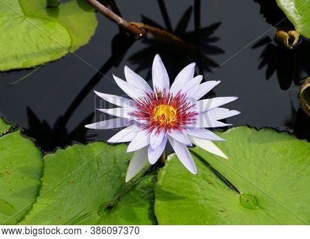 A Light Purple Tropical Day-flowering Waterlily, Also Known As