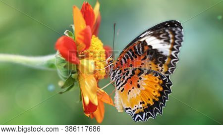 Exotic Multicolored Butterfly Looking For Pollen On A Flower, Macro Photography Of This Elegant And