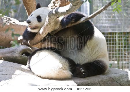Panda Feeding Its Young - Zoo