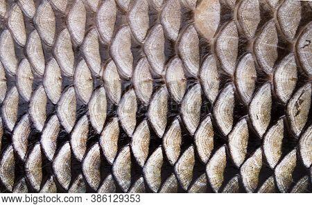 Macro Roach Fish Skin, Natural Texture. Closeup Background.
