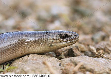 Male Anguis Colchica Portrait, The Common European Slow Worm