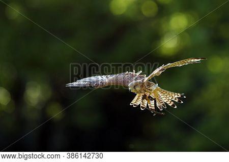 The Common Kestrel (falco Tinnunculus) Or European Or Eurasian Kestrel Flying In Backlight. Falconry