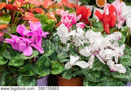 Pink And White Cyclamen Blossom Close-up, Backdrop Background. Sale Of Flowering Houseplants In A Fl