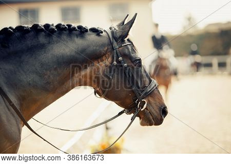 Portrait Sports Brown Stallion In The Bridle. The Neck Of A Sports Horse With A Braided Mane. Dressa